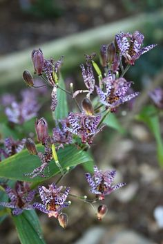 Dark Beauty Toad Lily for sale buy Tricyrtis 'Dark Beauty'