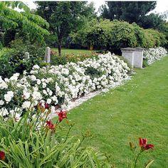 Tapete de rosas brancas.  Anthony Tesselaar International.