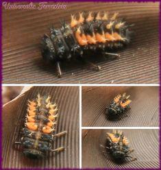 La mue de la coccinelle : La larve a commencé par s'agiter frénétiquement et tournicoter dans tous les sens piur trouver l'emplacement idéal de sa mue, à savoir dans une courbure du bord de la plume…