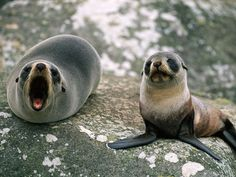 Fur seals have sharp eyesight and keen hearing. They have small ears, unlike the earless or hair seals. Mother seals and pups find each other using a familiar call. A study in Alaska found that mothers and offspring were still able to recognize each others' calls even after a separation of four years.