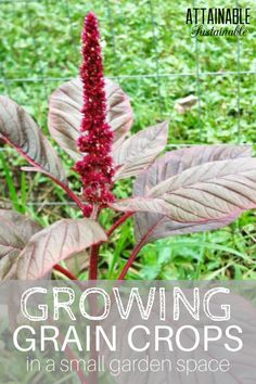 You don't need a huge farm. You can grow your own gluten free grain - amaranth, sorghum, and buckwheat - in your small garden.