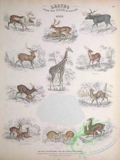 mammals-06431 - Deer, Giraffe