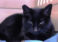 Meet Tippy, a Petfinder adoptable Domestic Short Hair-black Cat | Mission, BC | I was surrendered to the FVHS as a stray. When the vet checked me out they found that I needed some...
