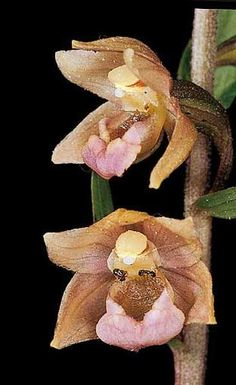 """Mario A. Diges - Reference Guide Iberian orchids...""""Epipactis lusitanica"""""""