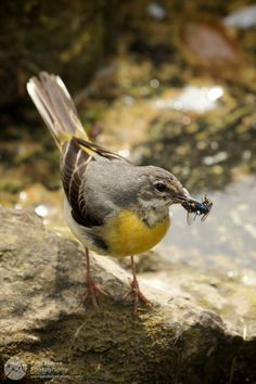 Grey wagtail – Paul Hayes Photography