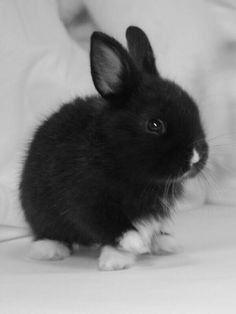 """""""I love the black bunny because it's cute. Can I pin as many bunny rabbits as I want? Cute Baby Bunnies, Cute Babies, White Bunnies, White Rabbits, Animals And Pets, Funny Animals, Dwarf Bunnies, Bunny Rabbits, Black Bunny"""