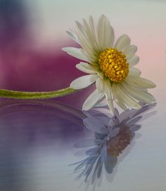 White Ox-eye daisy flower by SylvieS on 500px