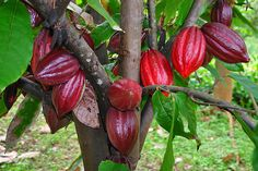 Cacao bean- Anglicized as cocoa bean, often simply cocoa is the dried and fully fermented fatty bean of Theobroma cacao, from which cocoa solids and cocoa butter are extracted. They are the basis of chocolate.  A cocoa pod (fruit) has a rough and leathery rind. It is filled with sweet, mucilaginous pulp enclosing 30 to 50 large seeds that are fairly soft and white to a pale lavender color. While seeds are usually white, they become violet or reddish brown during the drying process.