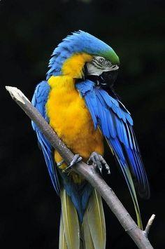 club Blue and Gold Macaw chwilaprzerwy. All Birds, Cute Birds, Pretty Birds, Beautiful Birds, Animals Beautiful, Colorful Parrots, Colorful Birds, Tropical Birds, Exotic Birds