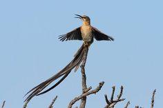female the cape sugar bird - Google Search