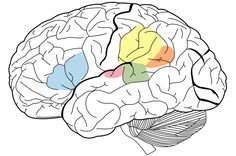 Brain imaging shows that testosterone therapy given as part of sex reassignment changes the brain structures and the pathway associated with speech and verbal fluency. Testosterone Therapy, Brain Structure, Apraxia, Brain Tumor, Study Skills, Science Fair, Neuroscience, Learn To Read, Language