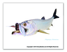 """""""Tarpon on White"""" Megalops Atlanticus  Tarpon, a large silver fish that are odd looking, powerful, fast and explode with power. Just a Tarpon and fly on a white background."""