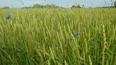 Hello, you all blue and gorgeous! Cornflowers in Latvia.