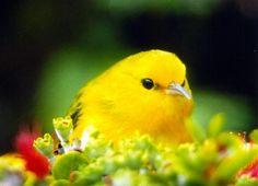 Adult Maui Alauahio - rare and beautiful birds of Hawaii (maui creeper,native)