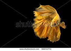 Gold betta fish, fighting fish, Siamese fighting fish isolated on black background