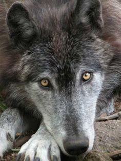 Loups du Canada : 1 des 5 sous espèces des loups du Gévaudan