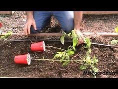 Ineffable Secrets to Growing Tomatoes in Containers Ideas. Remarkable Secrets to Growing Tomatoes in Containers Ideas. Tips For Growing Tomatoes, Growing Tomato Plants, Tomato Seedlings, Growing Tomatoes In Containers, Grow Tomatoes, Baby Tomatoes, Cherry Tomatoes, Hydroponic Gardening, Organic Gardening