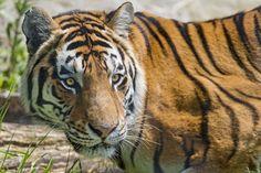 Big cats Tiger Glance Animals