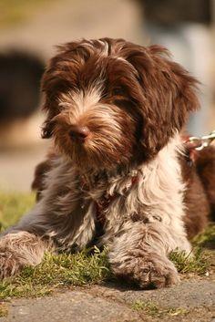 Dutch Sheepdog / Nederlandse Schapendoes Puppy.