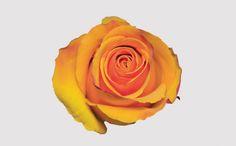Taycoon - Eden Roses - 2016