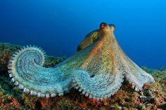 Pueden obtener mayor información en : http://oceana.org/en/blog/2011/07/photo-of-the-week-colorful-octopus