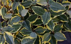 Another spectacular introduction from the Southern Living Plant Collection, Olive Martini is a new cultivar of evergreen Elaeagnus that was originally found by Christian Vivies in Toulouse, France, as a natural mutation of Elaeagnus x ebbingei.