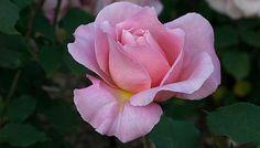 oregon rose flower