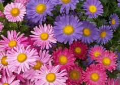 Aster Seeds For Sale | Buy Bulk Aster Flower Seeds Online At Eden Brothers Seed