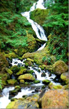 Quinault Rainforest, Forks, WA