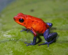 Rana flecha roja y azul (Oophaga pumilio). Habita en Panamá, Costa Rica y Nicaragua.VENENOSA D=