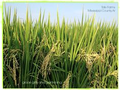 Rice Field Mississippi County Arkansas