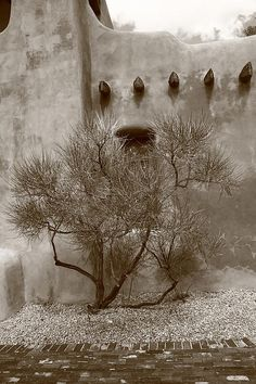 Santa Fe. A ancient tree stands before some old style architecture in New Mexico's capital city. In sepia.
