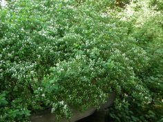 Lehtokuusama (Lonicera xylosteum)