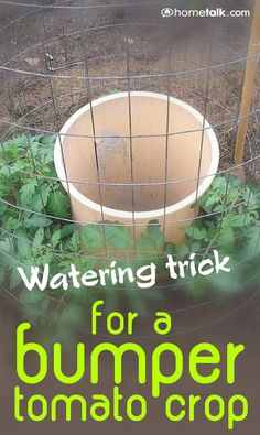 "DIY - Gardening: The best trick for watering your tomato plant! With a 3' cage, 4 tomato plants surround a 5g pail..buried 6-8"" deep. Holes in bottom 2nd row up 8""."