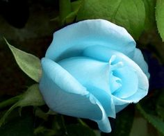 Blue Rose, Gorgeous!!!