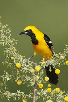 Hooded Oriole (Icterus cucullatus). A New World oriole of the US southwest and Mexico. photo: lselman.