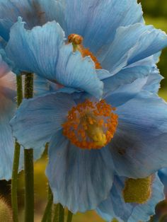blue poppies--  I wished my climate supported them!