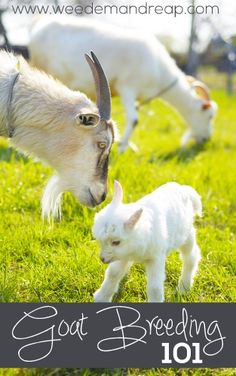 Breeding a goat is necessary in order to have milk. Here are some tips on goat breeding cycles. It's important to know before you breed a goat that you must
