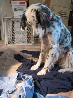 Evan--Decoverly Tricolor English Setter, examining the new arrivals.