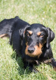 Small Dog Breeds, Small Breed, Weiner Dogs, Bushcraft, Terriers, Fur Babies, Hunting, Alice, German