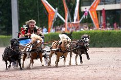 So, apparently miniature horse chariot racing is a thing...