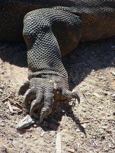 komodo dragon hand - Google Search