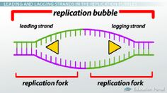 Bio 101: DNA Replication: The Leading Strand and DNA Polymerase Activities - Video. Great for HS Seniors or College 101 !! - Tutor: April Koch Certified Biology Teacher, M.Ed in the NC Triad & Triangle: She is great!!! http://www.wyzant.com/tutorprofile/default.aspx?id=7995850