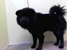 SAFE --- URGENT - Manhattan Center    KAHN - A0988484    MALE, BLACK, CHOW CHOW MIX, 3 yrs  STRAY - STRAY WAIT, NO HOLD  Reason ABANDON   Intake condition NONE Intake Date 12/30/2013, From NY 10460, DueOut Date 01/02/2014 https://www.facebook.com/photo.php?fbid=734289893250559&set=pb.152876678058553.-2207520000.1388586785.&type=3&theater