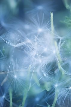 Photograph Nest by Manabu Oda on Simply Beautiful, Beautiful Images, Beautiful Flowers, Dandelion Wish, Dandelion Clock, Photos Originales, All Nature, Make A Wish, Phone Backgrounds