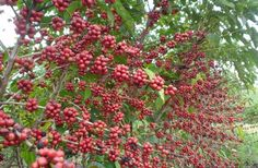 EXPRESSOMT - Aproximação da colheita do café movimenta região sul de MG