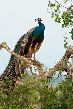 500px'te Milan Zygmunt tarafından Indian Peafowl fotoğrafı
