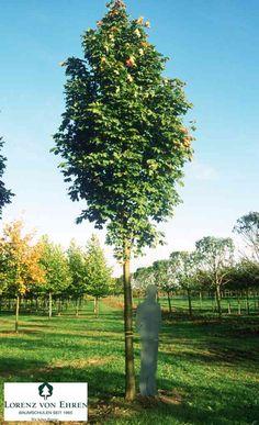 Acer platanoides 'Columnare' | Baumschule Lorenz von Ehren - Baumschulen seit 1865 - Wir lieben Bäume Säulen-Spitzahorn - Aceraceae Mittelgroßer, kompakter Baum, 8-10 (12) m hoch, 3-4 m Kronendurchmesser; schmal-eiförmig bis breit-säulenförmig; Äste schräg bis straff aufrecht, Zweige kurz, aufstrebend; Jahrestrieb 20-40cm. Härtegrad: Zone 4
