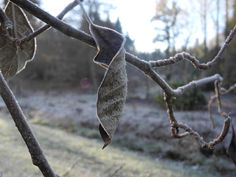 A frozen leaf hanging by a thread