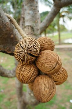 Hanging Decorative Rope of Exotic Dried Pong Pong Seed Pods, 38cm long. For decoration. From the tree known as: Cerberaodollam Gaertn or Apocynaceae or Pong pong. The tree grows along the sandy coasts, riverbanks and near mangrove swamps. Size varies, but these are of large size generally c. 7-9cm diameter. Consists of approximately 9 pong pong seeds all tied to a natural fibre looped rope for hanging. Approx size including hanging loop = 38cm long, 18cm wide, 18cm deep......